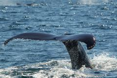 Tail of humpback whale, Cape Cod, Massachusetts, USA Kuvituskuvat
