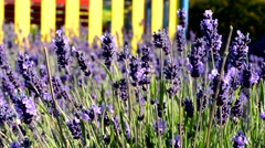 Bees pollinate the lavender blossom - detail Stock Footage