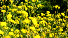 Large amount of yellow flowers on the field in the countryside Stock Footage