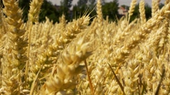 View of the large wheat field - camera focus only wheat spike - detail Stock Footage