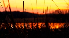 Stock Video Footage of river bulrush grass at sunset orange nature landscape
