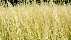 View of the windy gold field in the countryside - detail Stock Footage
