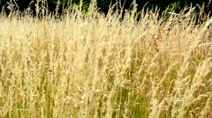 View of the windy gold field in the countryside Stock Footage