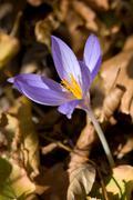 Nice crocus flower Stock Photos