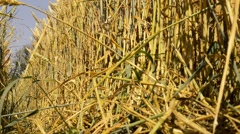 View from trampled way in the large wheat field - close up Stock Footage