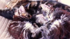 Stock Video Footage of Maine Coon Cat and kitten hug and sleep in the bed. 1920x1080