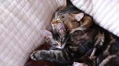 Maine Coon Cat and kitten hug and sleep in the bed. 1920x1080. hd - stock footage