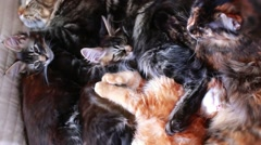 Maine Coon Cat and kitten hug and sleep in the bed. 1920x1080 Stock Footage