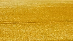 View of the large gold wheat field - visible trampled way goes through the field Stock Footage