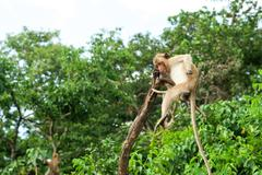 Monkey waiting for and looking chance to stolen food in an island, thailand. - stock photo