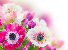 bunch of anemone flowers - stock photo