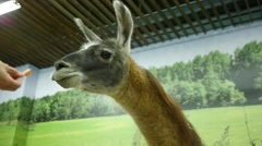 Feeding Lama animal from hand in zoo Stock Footage