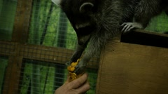 Feeding animal in zoo - raccoon eats cookies from the cup Stock Footage