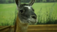 Animal Lama - South American mammal of the family of camelids Stock Footage
