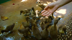 Man feeding and petting a group of baby ducks. Video UltraHD Stock Footage