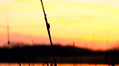 Stock Video Footage of river bulrush grass at sunset orange landscape nature