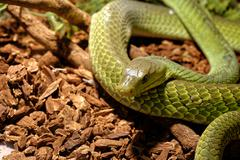 Snake in the terrarium - Green rat snake - stock photo