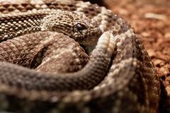 Snake in the terrarium - Tropical rattlesnake Stock Photos
