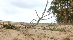 pine forest tree tops in blue sky dry twig nature landscape sand - stock footage