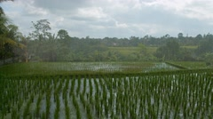 Rain over the rice fields. Video UltraHD Stock Footage