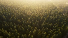Drone footage - Trees in Golden Hour Stock Footage