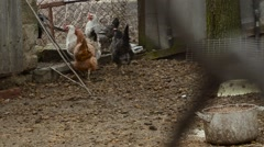 Several Hens go Through Hole in Wire Mesh Fence Stock Footage