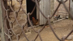 Stock Video Footage of Chicken Move About Entrance of Coop About Mesh Fence