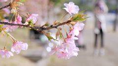 Blooming cherry blossoms and defocused family in background. - stock footage