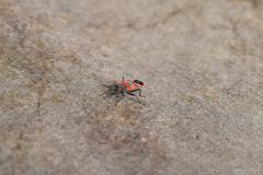 Single red bug on the roofing material. - stock photo