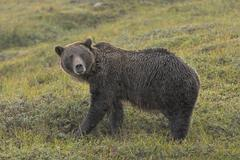 Grizzly Bear in the Rain in the Tundra - stock photo