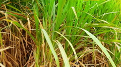 Sugarcane plantation Stock Footage