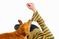 Dog biting womans sleeve - stock photo
