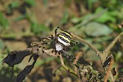 Stock Photo of Argiopa spider crawling on the dry grass