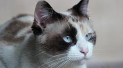 Cat eyes. Watching. Beautiful blue eyes.  Stock Footage