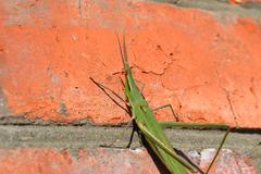 Green locusts, orthoptera insect - stock photo