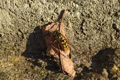 The female wasp common after hibernation Stock Photos