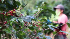 Farmer hand picking arabica coffee berries in red and green Stock Footage