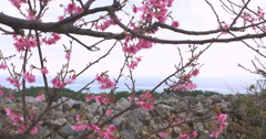 Cherry blossoms on a hill and ocean in background. Stock Footage
