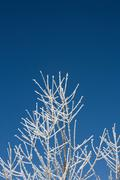 Stock Photo of Hoar frost on branches