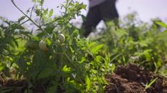 Farmer Walking In Tomato Field Inspecting Plants Stock Footage