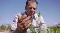 Farmer Examining Leaves Of Tomato Plant Searching Bugs - stock footage