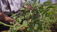 Farmer Examining Leaves Of Tomato Plant In The Field Stock Footage