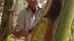 Man Farmer Cutting Banana Platano Plant With Machete In Cuba Stock Footage