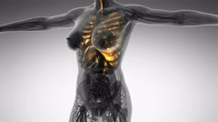 Science anatomy of human body in x-ray with glow lungs Stock Footage