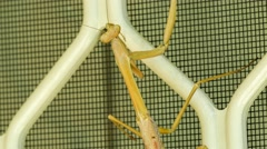 Close up of purple-winged mantis (Tenodera australasiae) insect slowing creep Stock Footage