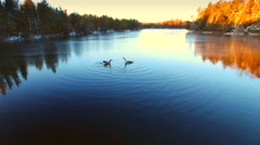 Canadian Geese doing mating dance on steaming lake at sunrise Stock Footage