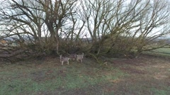 An aerial shot of a herd of deer under a tree in field Stock Footage