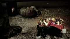 Little kittens in wicker basket in a barn slow motion - stock footage
