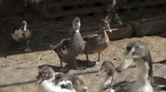 A flock of ducks in the cage Stock Footage