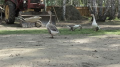 A flock of geese walking in the meadow Stock Footage